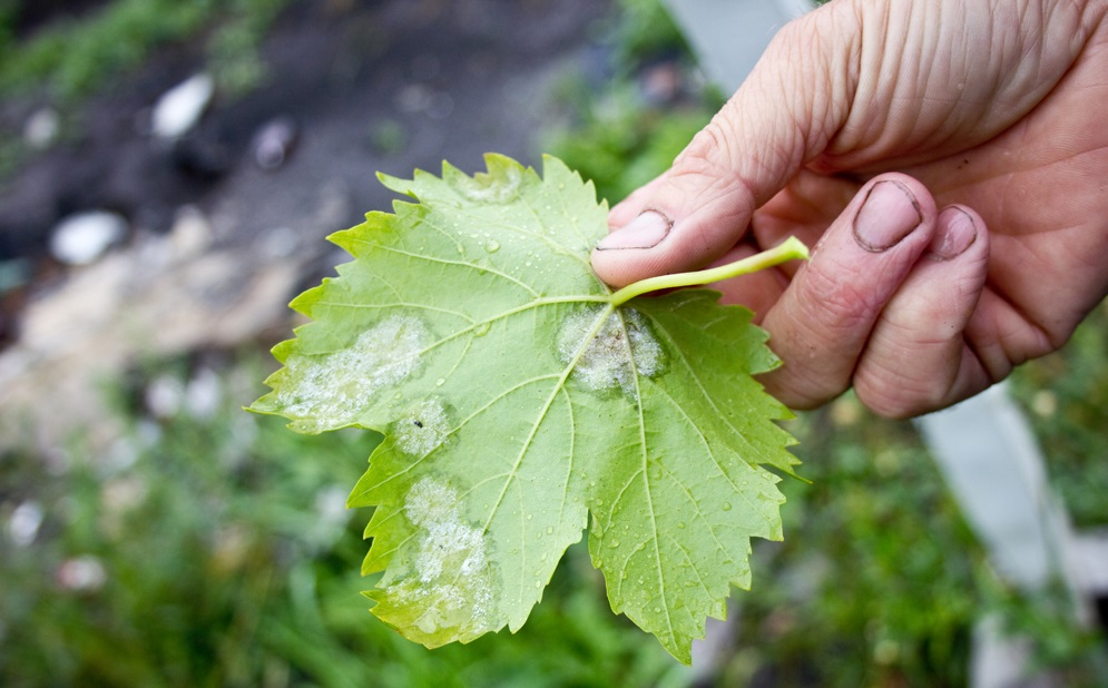 Мучнистая роса на винограде: причины появления и методы борьбы.